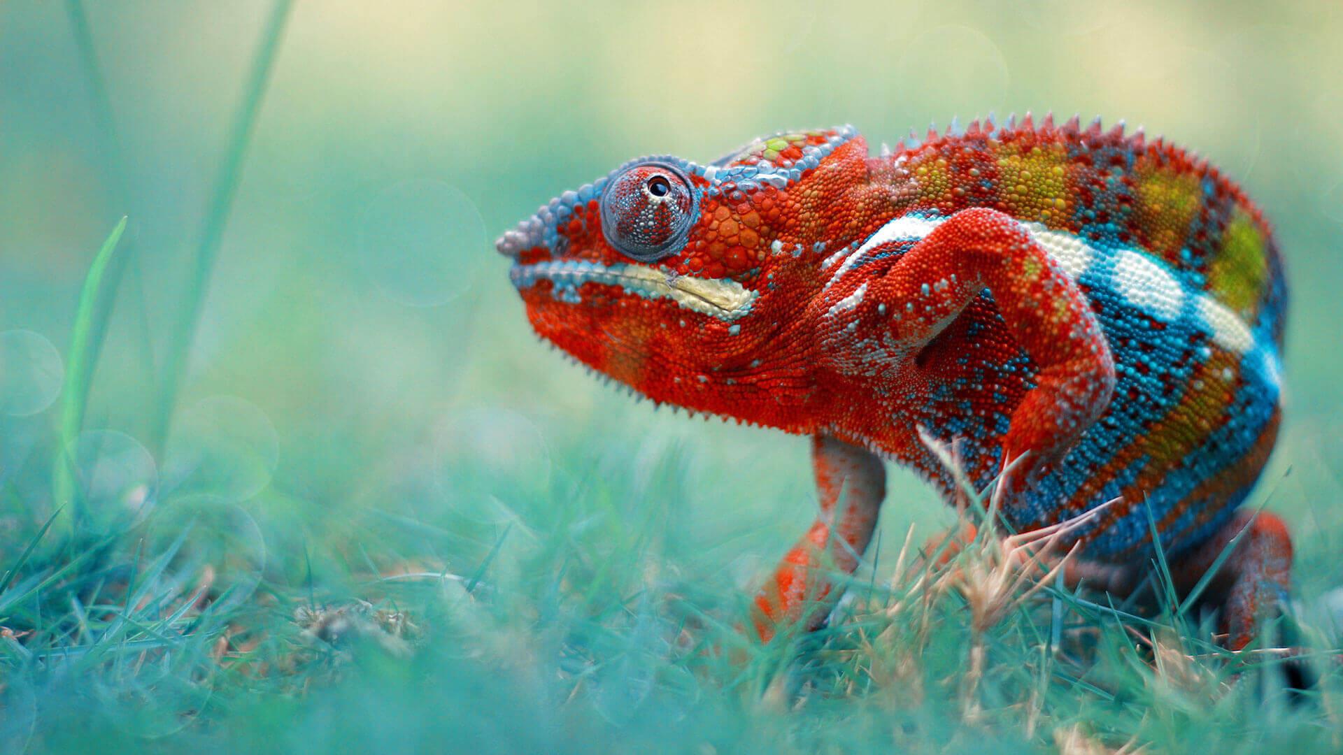 5 Care Tips for Chameleons